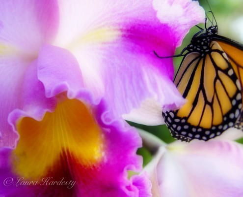 Monarch on Orchid